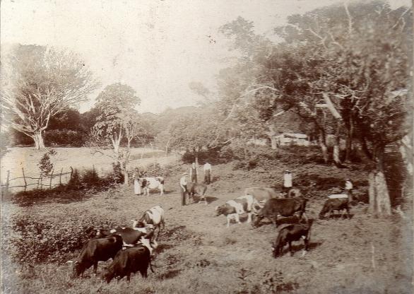 dairy farm 1930.jpg